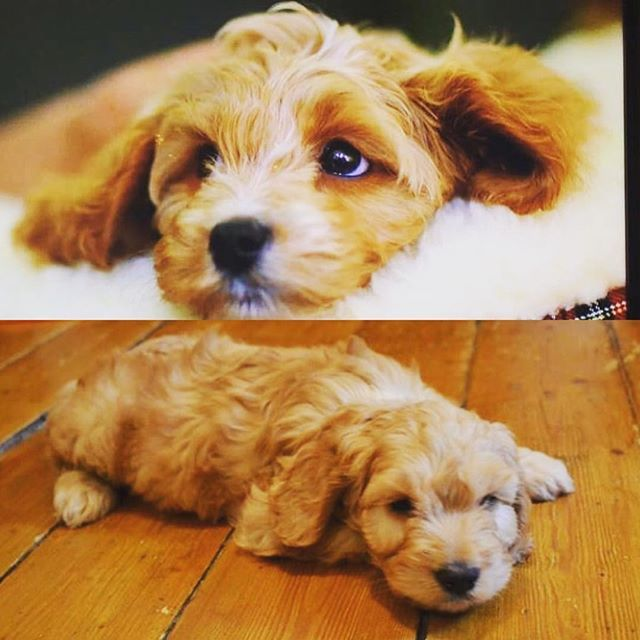 """Delighted to see Rosedale Doodles featured in the BBC programme """"Choosing the right puppy for you"""". It was my home for my first 8 weeks in the world! It was lovely to see Ray the cavapoochon pup (top photo) settling into family life as quickly as me (bottom photo) #instadog #cutedog #dogsofinstagram #dog #cockapoo #cavapoochon #rosedaledoodles #puppy #bbc"""
