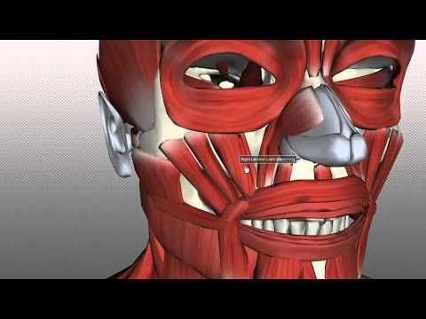 Anatomy Of The Head & Neck - Muscles Of Facial Expression 02 | 3D anatomy tutorial on the muscles of facial expression, using the BioDigital Human anatomy browser (http://www.biodigitalhuman.com). This video is in two parts. If you just want to get a quick overview of the main muscles, just watch the first part, but if you want to learn about them in more detail, make sure to watch both parts!