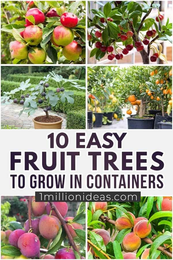10 Easy Fruit Trees To Grow In Containers Fruit Trees Fast Growing Trees Fruit Plants