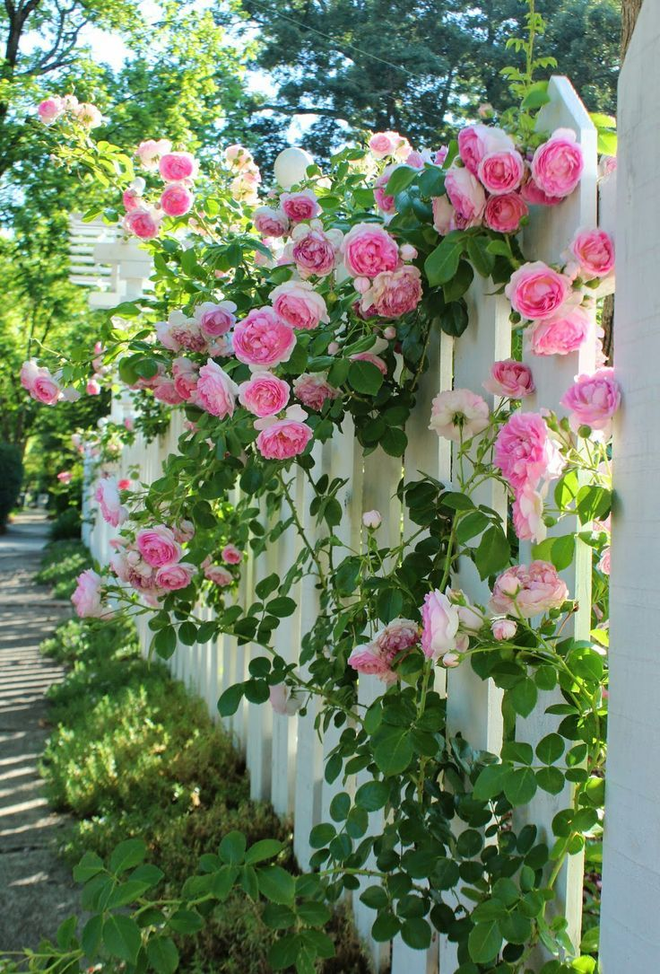 Climbing Pink Roses On White Fence Garden Flowers Colorful