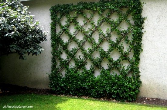 Ivy vine trellis for back fence