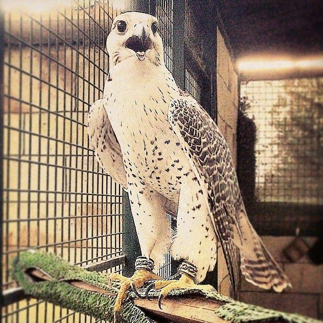 Gyrfalcon Gyr Gyrkin Largest Falcon Predator Hunting Houbara Bustard National Emblem Abudhabi Uae جير صقر طيور صيد Predator Animals Hunting