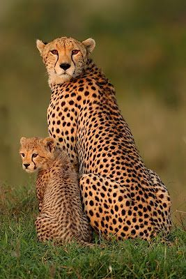 Cheetah mom and baby