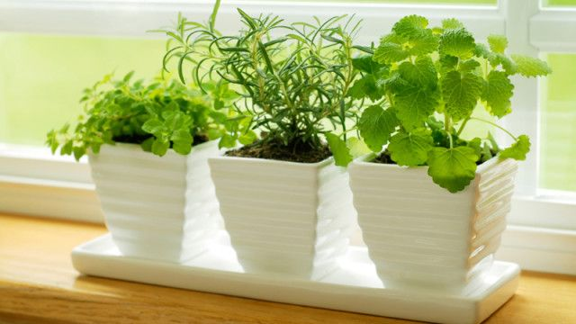 10 best herbs to grow indoor in this winter to make your kitchen smelling fresh and add taste to your cooking.: