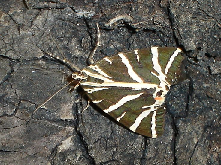 The Tiger Moth Butterfly In The Rhodes Butterfly Valley