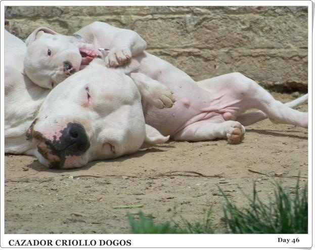 Top Dogo Chubby Adorable Dog - 2cb855d47b3036a8320e946237886ab7--animal-babies-baby-animals  Best Photo Reference_191762  .jpg