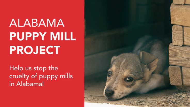WHAT YOU NEED TO KNOW :   Puppy Mills are spread out across Alabama. The puppies at these mills are put in cruel and harsh living environments and then sold at puppy stores across our state. Puppy Mills house hundreds to thousands of dogs. Female breeder dogs are usually bred 2x a year. At that rate,...