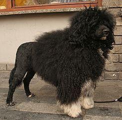 El Cão de Agua Português es una raza de perro de Portugal, de similares características al Perro de agua Español. Algunos autores creen que esta raza tiene cierta relación con el irlandés Kerry Blue Terrier. Raza antigua, se piensa que acompañaba a los marinos lusitanos de los siglos XV y XVI.