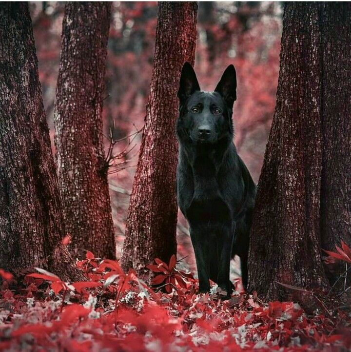 """Beautiful Black German Shepherd Dog! From your friends at phoenix dog in home dog training""""k9katelynn"""" see more about Scottsdale dog training at k9katelynn.com! Pinterest with over 19,900 followers! Google plus with over 133,000 views! You tube with over 400 videos and 50,000 views!! Serving the valley for 11 plus years More"""