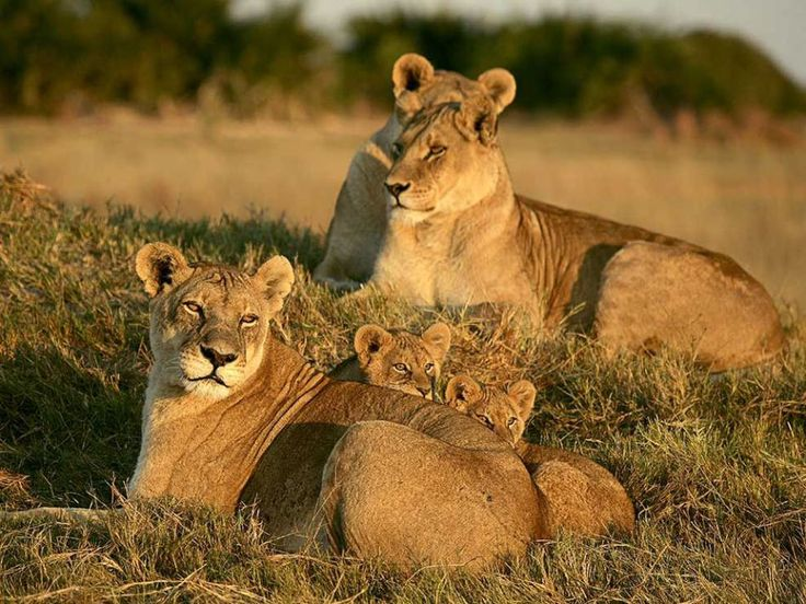 Lionesses and Cubs (Photograph by Beverly Joubert)  Three female lions and a pair of cubs rest in the grass in Botswana's Okavango Delta.  Females remain with a pride for life and often have to defend their cubs from males, who will kill young lions when taking over another male's territory.