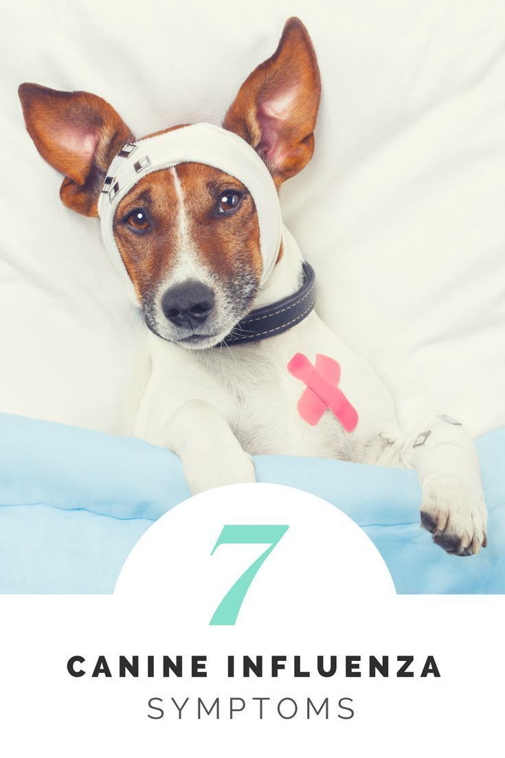 dogs get the flu too how to care for you furry friends happy rh pinterest com