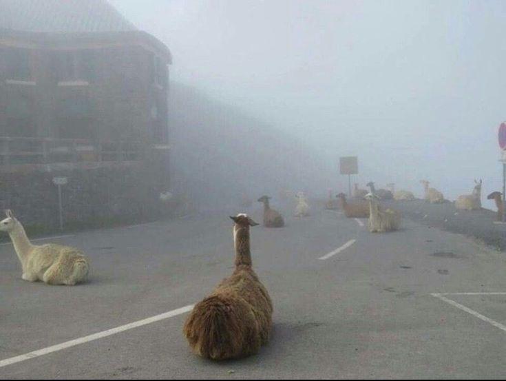The Alpacalypse has begun