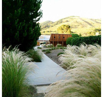 Mexican feather grass (Nassella tenuissima)