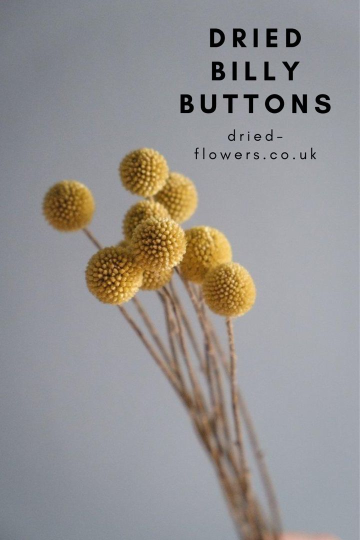 Dried Yellow Billy Buttons Craspedia In 2020 Billy Buttons Flowers Online Dried Flowers