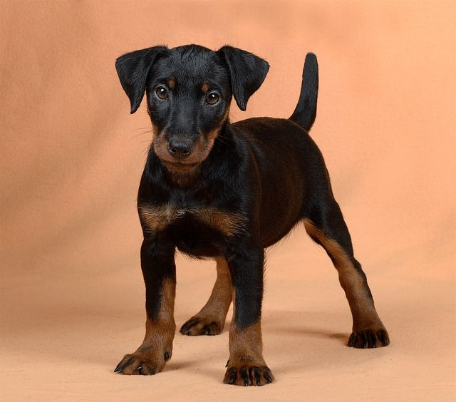 Jagd Terrier puppy | by 100dogs