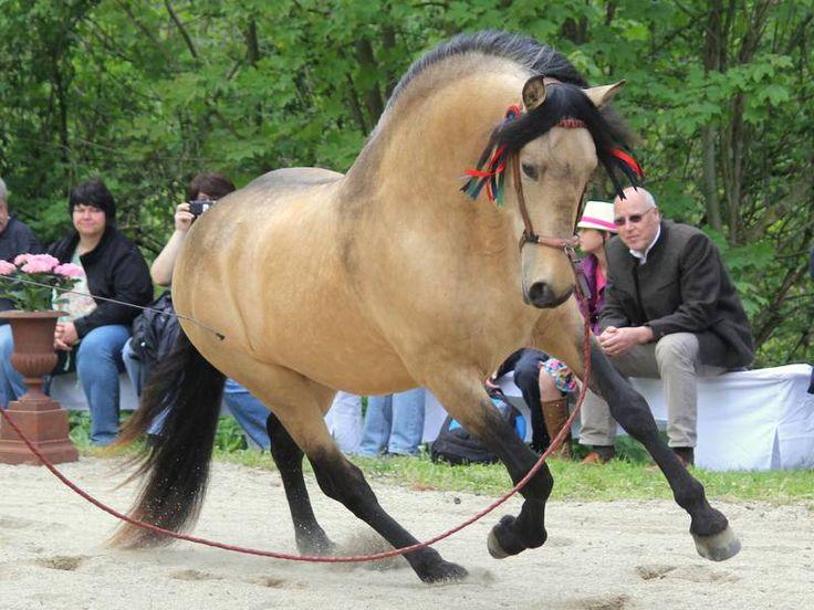 1000+ Images About Horse: Buckskin, Dun, Grullo On Pinterest