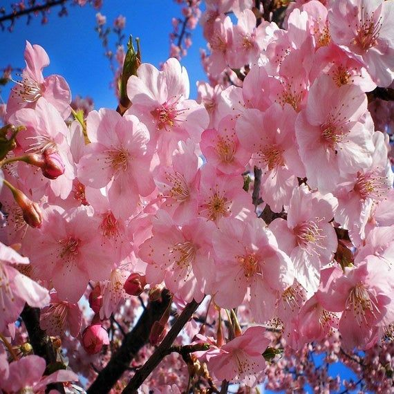 White Blossomed Tree In Cherry Blossom Park Photo By Virginia Varela White Blossom Tree Blossom Trees Park Photos