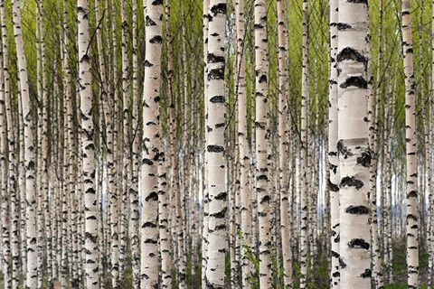 Grove of Birch Trees Wall Mural - Nature Wall Mural endevegg stua?