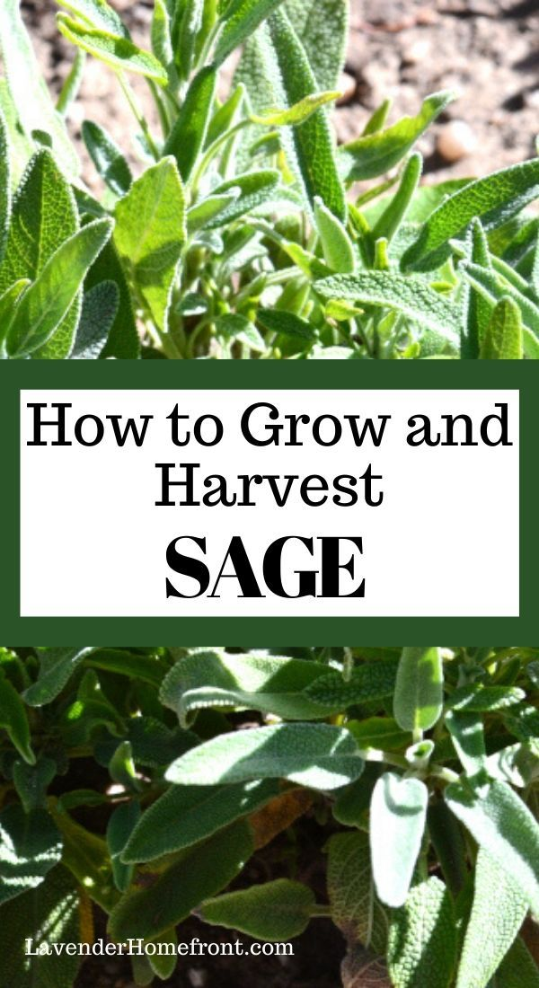 Learn The Basics For Planting Growing And Harvesting Sage This