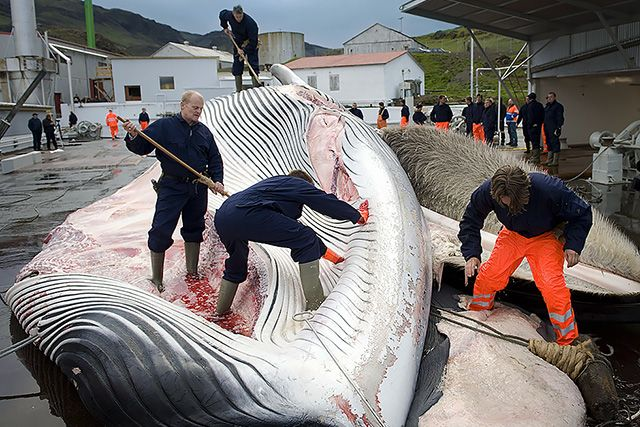 Why Is the World Ignoring Iceland's Growing Slaughter of Endangered Whales?