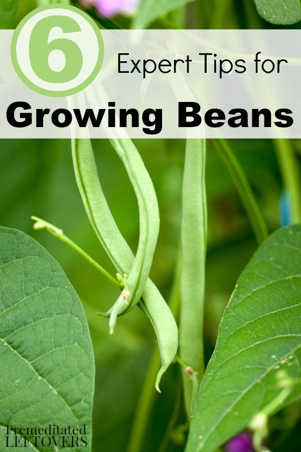 6 Expert Tips for Growing Beans- Beans are one of the easiest vegetables to grow. Use these gardening tips to grow the best green beans in your garden!