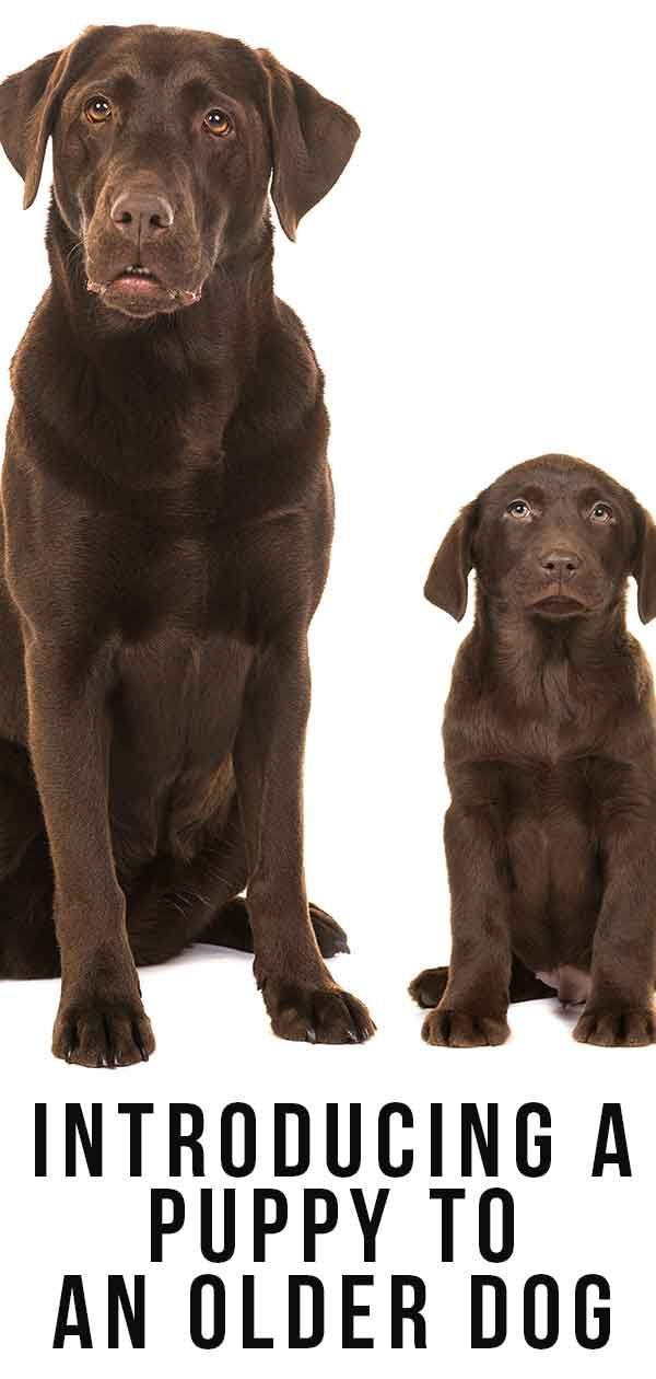 Introducing A Puppy To An Older Dog Getting Off On The Right Paw Dog Behavior Puppies Training Your Dog