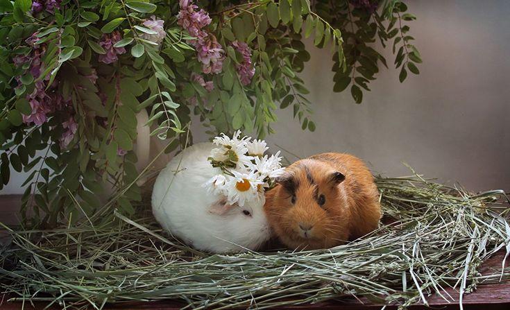 66 Best Guinea Pigs images