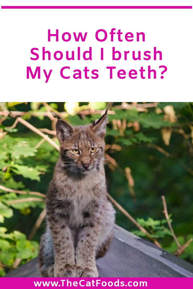 How often should i brush my cats teeth in 2020 cats
