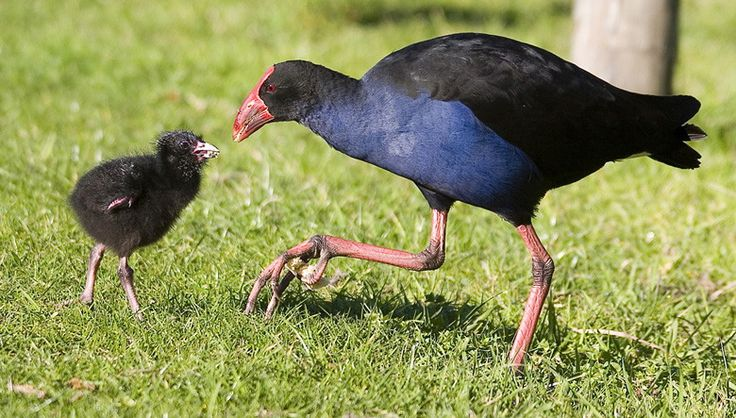 Mum and chick