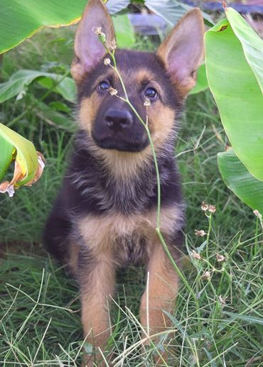 Luke Milani in nature.  Luke Milani, Denise Milani's german shepherd puppy.