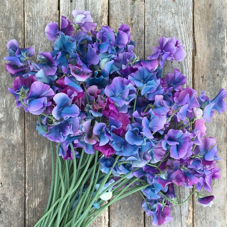 incredible sweet pea treasure called 'Blue Shift' turns from violet to turquoise as it ages. I wouldn't have believed it if I hadn't seen them with my own eyes. If you want to see a little step-by-step of how we grow our plants, check out my stories. #growfloret #dsfloral