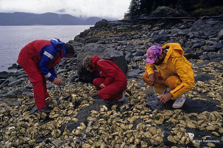 In Pendrell Sound, where the water reaches 80 degrees in summer, oysters line the entire shoreline.