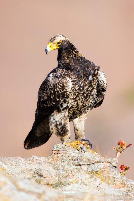 Juvenile Black Eagle Giants Castle Nature Reserve, Drakensberg, South Africa