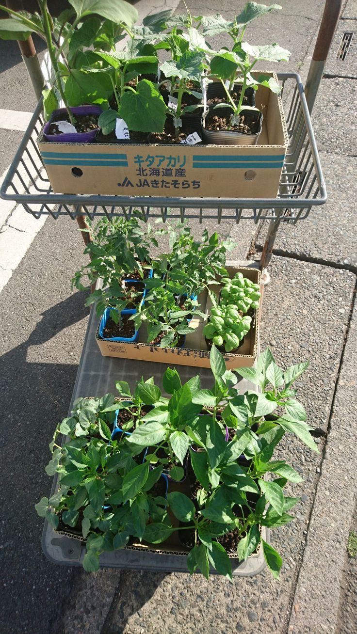 20170504 野菜の苗(野原種苗㈱) トマト・バジル・ピーマン・キュウリ・なす・オクラの苗です。 明日、出掛ける前に植え付けができるかな?