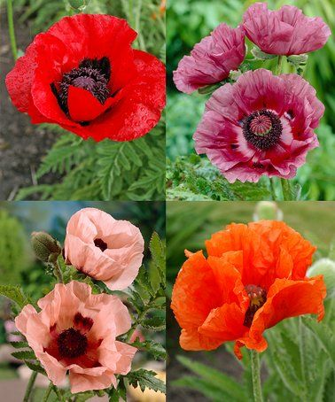 Colorful Oriental Poppy Bulb Collection