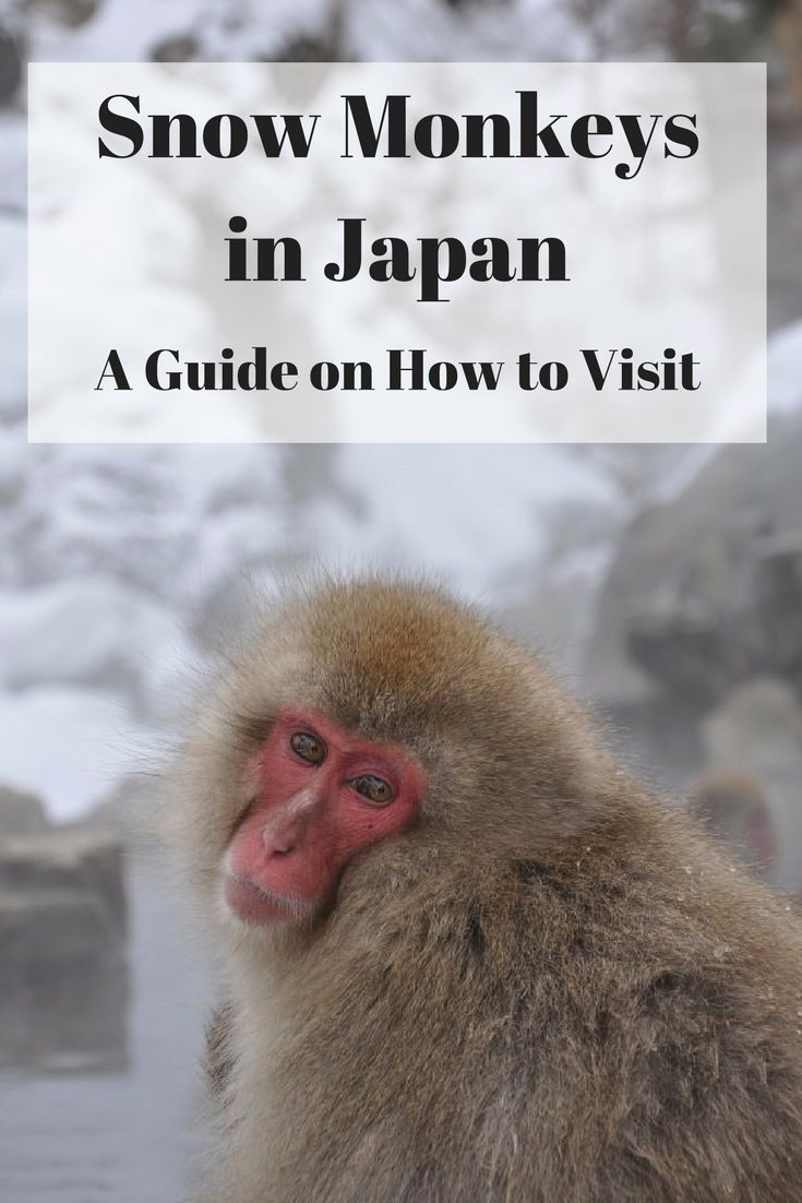 The ultimate guide on how to visit the Japanese snow monkeys at Jigokudani Snow Monkey Park, Japan - when to visit, how to get there, where to stay and more information. *********************************************************************** Tokyo Day Trips | Tokyo Travel Bucket Lists | Japan Travel Destinations | Japan Travel Tips | Japan Travel Ideas | Japan Travel Photography | Japan Travel Winter | Japan Travel Winter Hot Springs| Japan Travel Things to do in | Japan Travel Blog