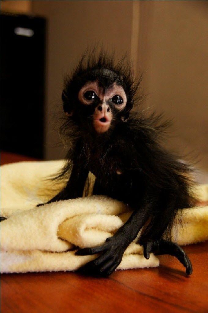 Filhote de macaco aranha resgatado de comerciantes ilegais é fotografado na Cidade da Guatemala.O Conselho nacional de Áreas Protegidas denunciou os comerciantes que deixaram o animal órfão, uma vez que por características da espécie, é preciso assassinar os pais para retirá-lo de seus braços. A foto foi divulgada na quarta-feira (15)