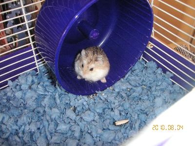 Ace the Robo Dwarf Hamster