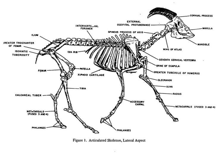 Goat Anatomy - Skeletal | Livestock | Pinterest | Goats, Anatomy and ...