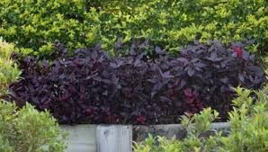 Image result for alternanthera ruby red