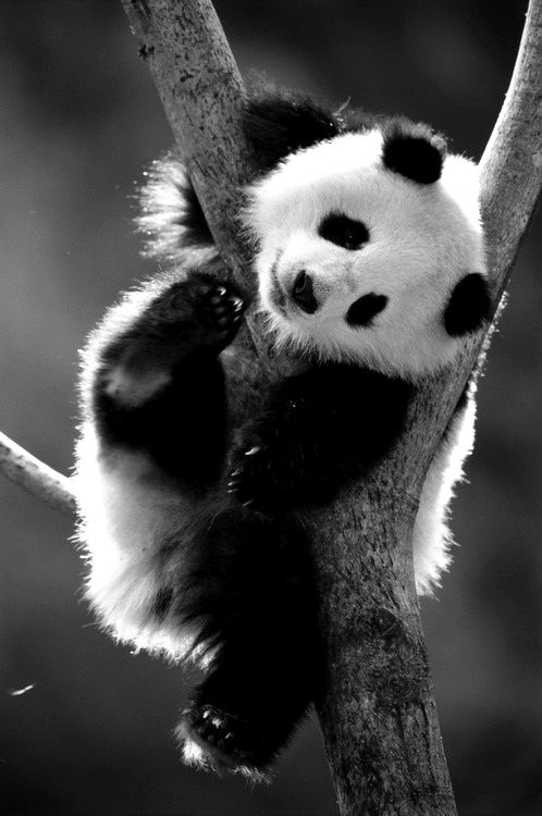 Panda Bears are so cute More on Pics on Facebook - Panda Life https://www.facebook.com/Panda-Life-894187597359826/