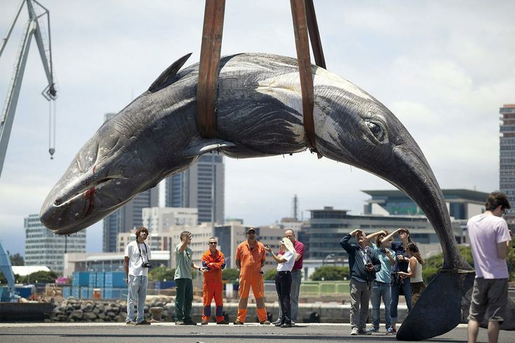 The body of a female whale of some 10 meters length and 9 tons weight is lifted by a crane at the port in Santa Cruz de Tenerife, canary Islands, Spain, 06 June 2014. The whale was found dead the previous day and will be analyzed by the technicians of Canarias regional government Conservation and the Veterinary Medicine University of Las Palmas de Gran Canaria.