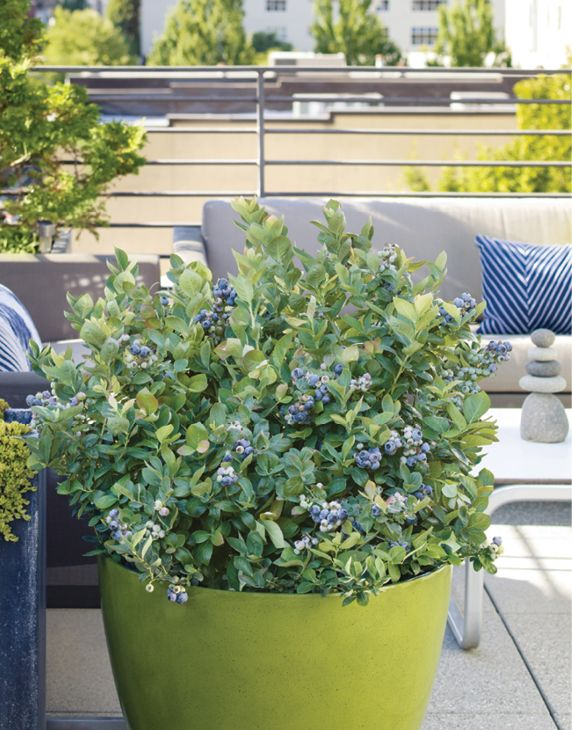 Our Peach Sorbet® Blueberry Is Easy To Grow And Perfect For A Patio  Container.