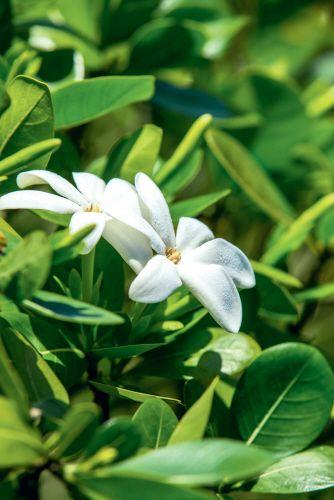 Tiare Flowers - La fleur de Tiaré