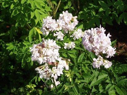Sæbeurt - Saponaria Officinalis Det er en aggressiv plante med et forgrenet rodnet.Køn i staudebedet med friskt, lysegrønt løv og svagt lilla/lyserøde, let flossede blomster, der holder længe og er gode i buketter. Kan gro i al slags jord.Trives i fuld sol, men tåler også en del skygge. Skal holdes i ave, men den klarer sig fint over for skvalderkål og andet ukrudt. Op til 80 cm høj. Blomstrer i sensommeren. Sæbeurt vil helst have fugtig jord.