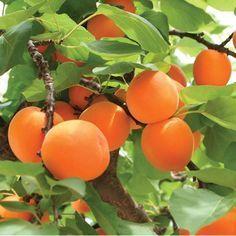 Vous venez de finir de manger un succulent abricot et vous êtes prêt à lancer le noyau au loin mais avez-vous pensez qu'il pourrait devenir un grand et bel abricotier. On se demande alors, peut-on ...