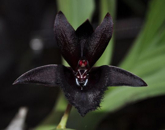 Black Orchid - Fredclarkeara Black Lace 'Baker's Dark Angel' Nature and more