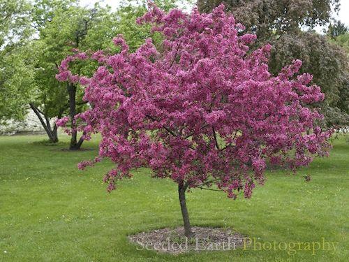 Prairifire Crabapple Tree Flowering Trees Trees For