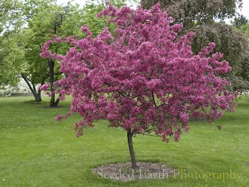 17 best images about flowering trees on pinterest for Crabapple tree