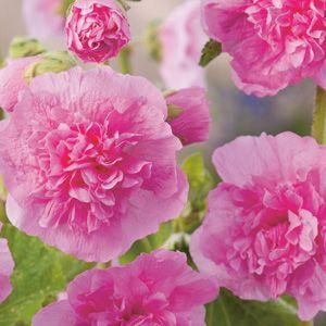 HOLLYHOCK SPRING CELEBRITIES PINK - Garden Express